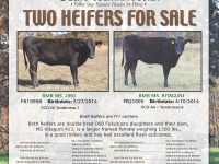 Two Nice Full Blood Heifers For Sale