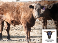 Full-Blood Wagyu Feeder Steers (unregistered)