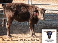 Full-Blood Wagyu Grower Steers (unregistered)