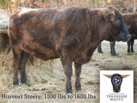 Full-Blood Wagyu Harvest Steers (unregistered)