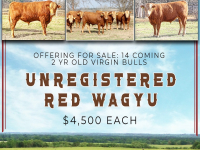 Red Wagyu Bulls For Sale